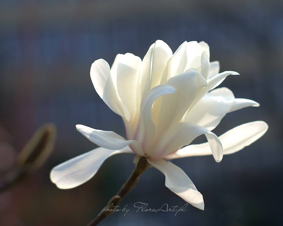 magnolia stellata kwiat z bliska
